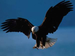 a beautiful eagle
