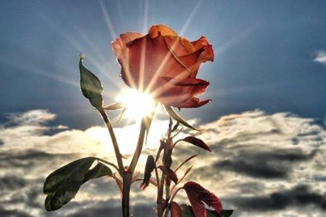 ROSE IN THE LIGHT!